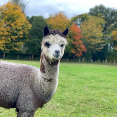alpacas cheshire (1)