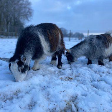 alpacas cheshire (11)