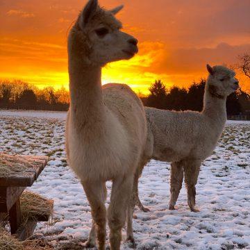 alpacas cheshire (13)