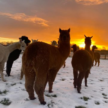 alpacas cheshire (15)