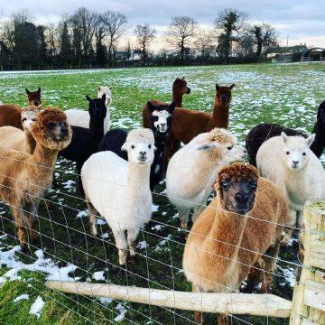alpacas cheshire (16)