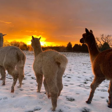 alpacas cheshire (17)