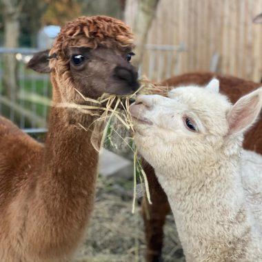 alpacas cheshire (3)