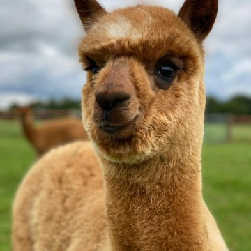 alpacas cheshire