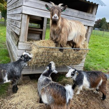 alpacas cheshire (4)