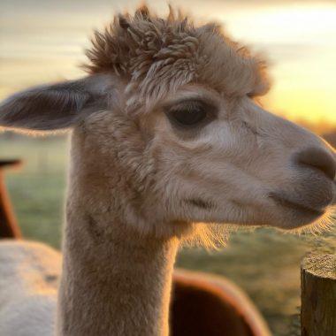 alpacas cheshire (5)
