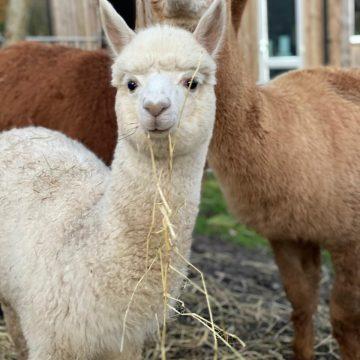 alpacas cheshire (6)