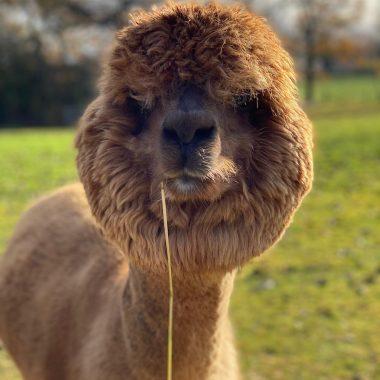 alpacas cheshire (7)