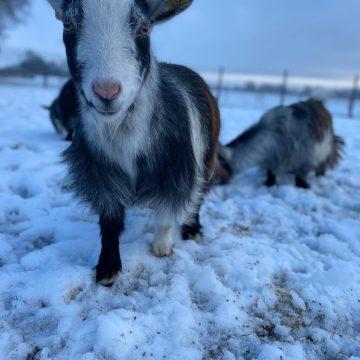 alpacas cheshire (9)
