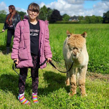 cheshire alpacas experiences (1)