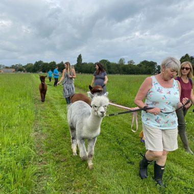 cheshire alpacas experiences (3)