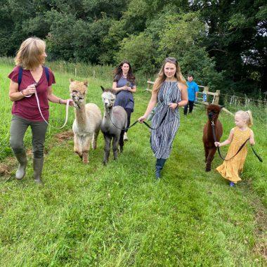 cheshire alpacas experiences (4)