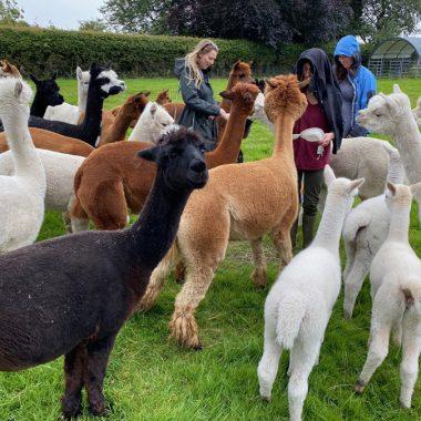 cheshire alpacas experiences (5)