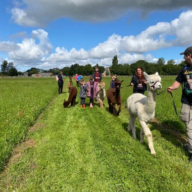 cheshire alpacas experiences (7)