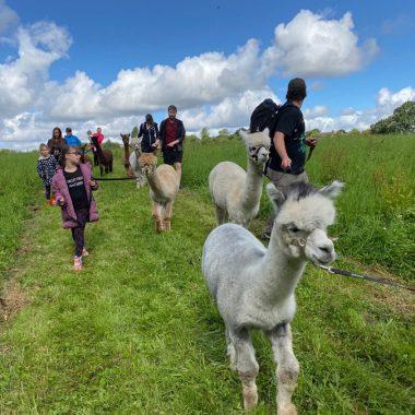 cheshire alpacas experiences (8)