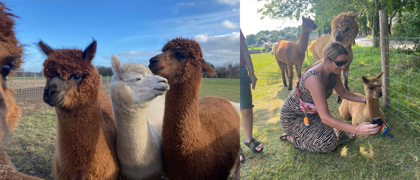 meet and greet cheshire alpacas